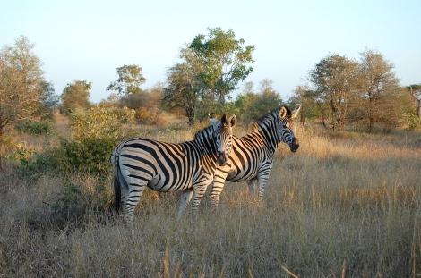 Kruger_Zebra