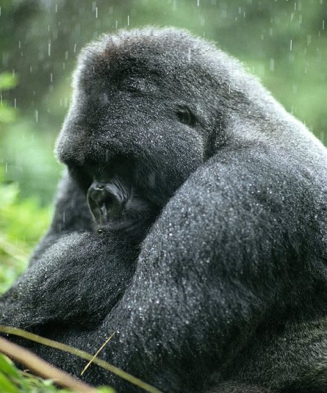 foto gorilla ph. Michael Nichols