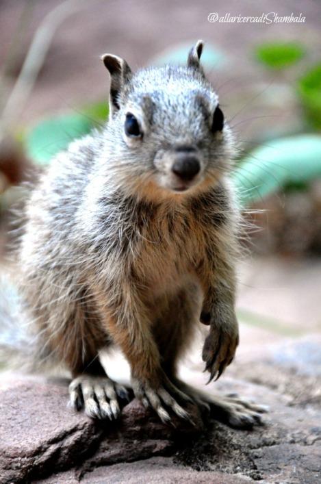 Zion NP scoiattoli