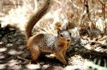 Zion NP scoiattolo